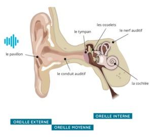 schéma du système auditif par audition cornuau